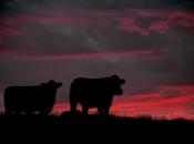 Arran Cattle