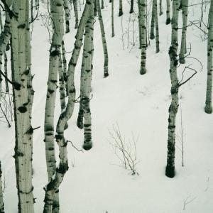 Aspen Trees, Aspen