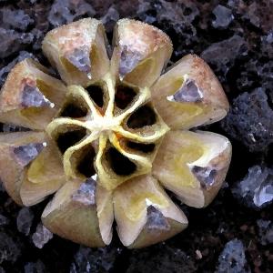 Dry Seed Pod