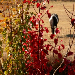 Red Leaves with Horse