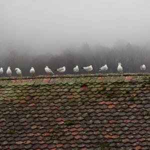 Seagulls on Obereschleuse Bridge, Thun