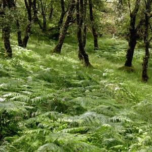 Ferns in Glen Nant