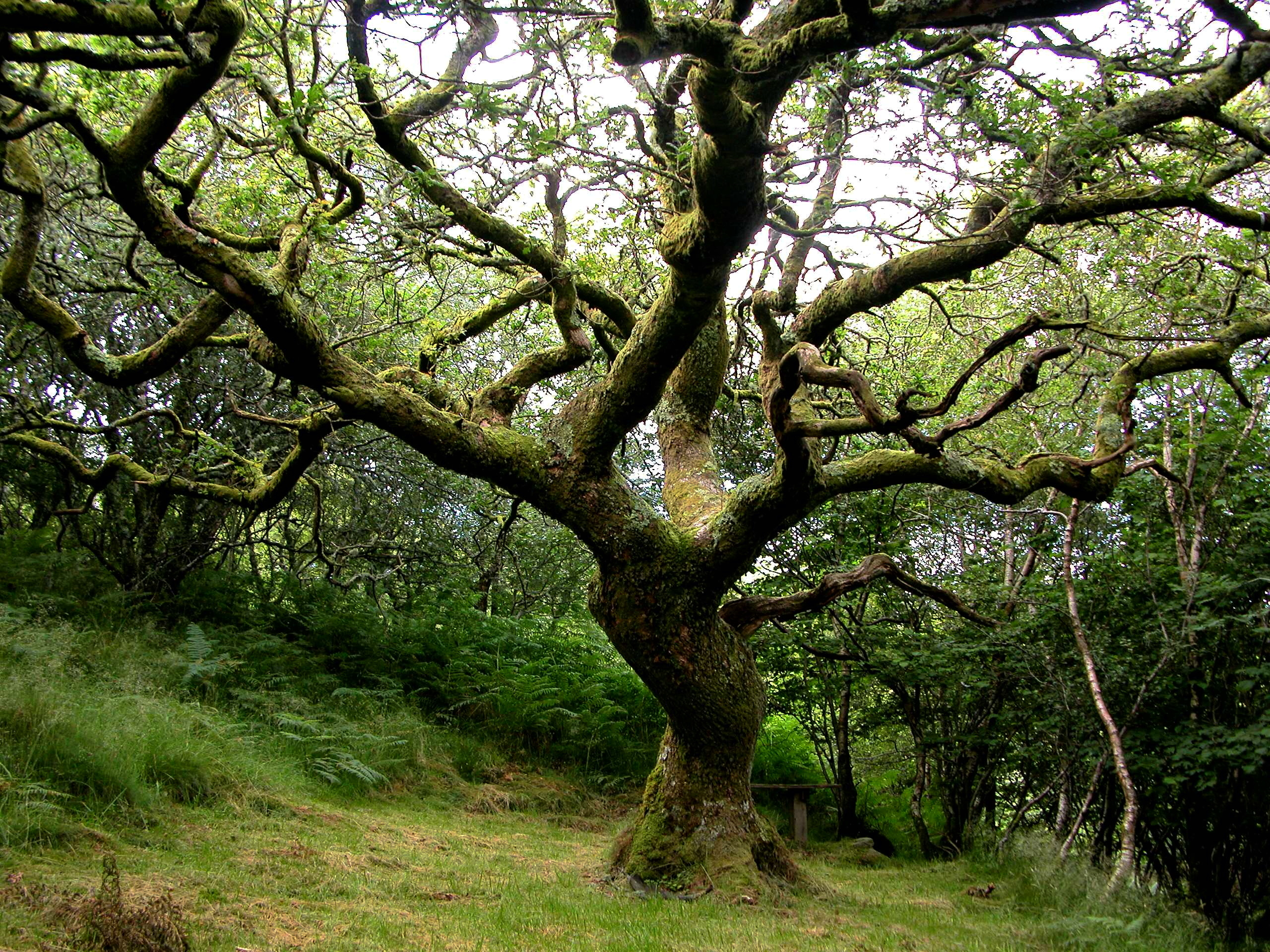 Oak, Crinan Woods
